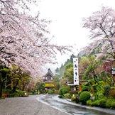 3月下旬~4月上旬にかけて満開になる桜! お車から降りてフロントまでの道のりは桜でいっぱい♪ 桜がおふたりとゲストをお迎え致します
