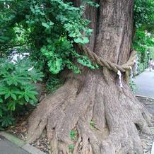 歴史を感じる大樹