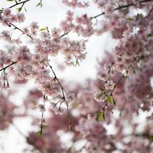 東観荘入口にある桜はとても綺麗でした。