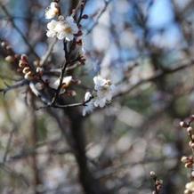 冬なら白梅をバックに撮影可能