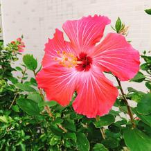 会場にはハイビスカスが咲いています