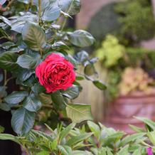 玄関前のバラ。4月下旬、満開でした。